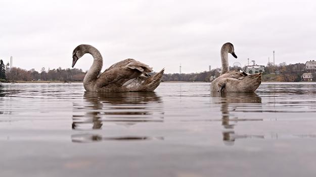 2014-10-28-swans-005