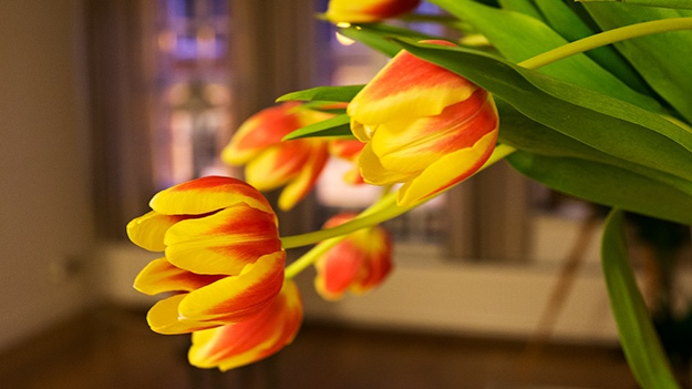 2017-02-16-red-and-yellow-tulips-007